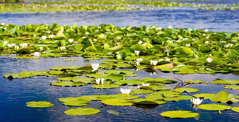 Waterlilies_in_Danube_Delta